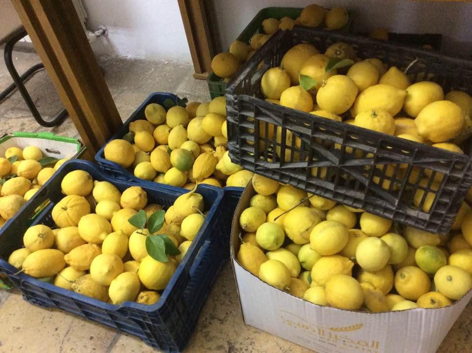 레몬 수확